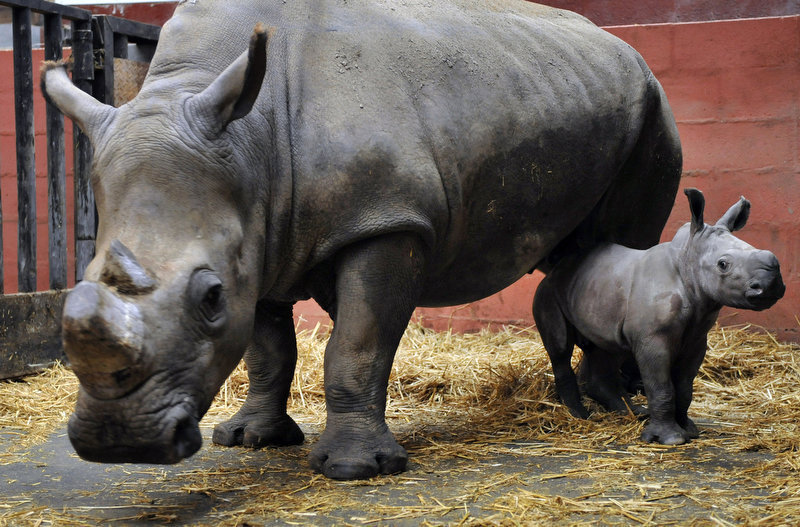 Description of . Keyah, a baby white rhino weighing 30kg, stands by its mother at the Cerza zoo in Hermival-les-Vaux. The birth in captivity of white rhinos are very rare, one to two per year in Europe. (MYCHELE DANIAU/AFP/Getty Images)
