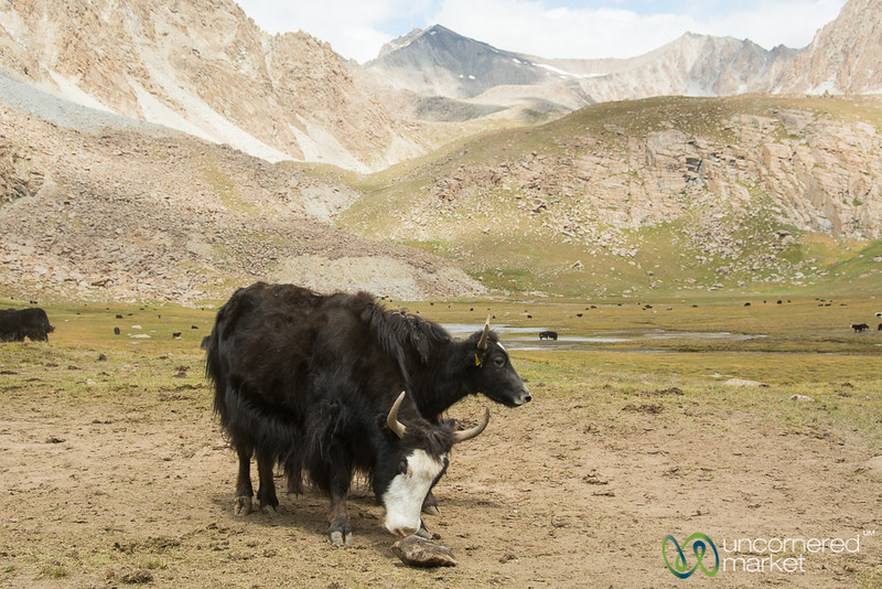Yaks at a Salt Lick, Yak Valley, Koshkol Lakes Trek - Alay Mountains, Kyrgyzstan