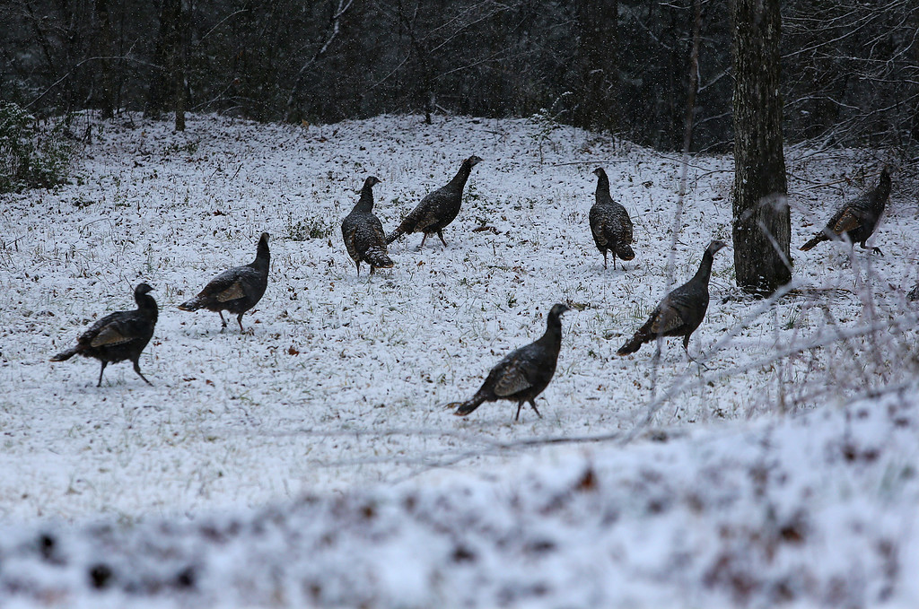 . Wild turkeys graze in a snow covered field off Hwy 75 South by the Chattahoochee River on Tuesday, Feb. 11, 2014, just north of Helen, Ga. (AP Photo/Atlanta Journal-Constitution, Curtis Compton)