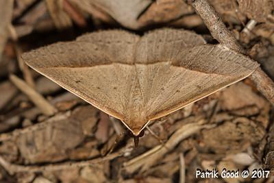 Neat Epidesmia Moth