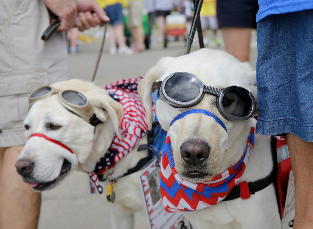 . Recon, right, and Willow, wait to walk with their owners Steve and Cindy Yager, in the Delano Fourth of July parade in Delano, Minn., Friday, July 4, 2014.  (AP Photo/Ann Heisenfelt)
