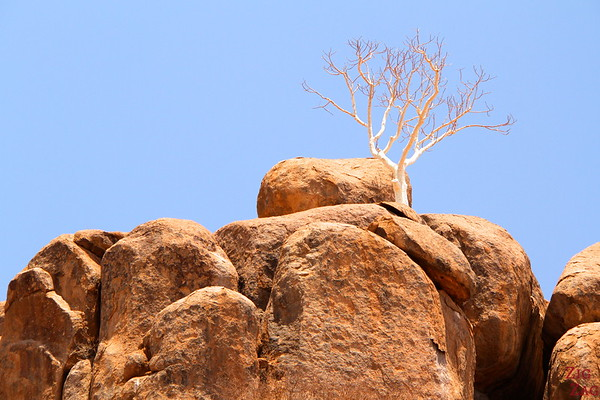 WHite tree Damaraland, namibia photo 3
