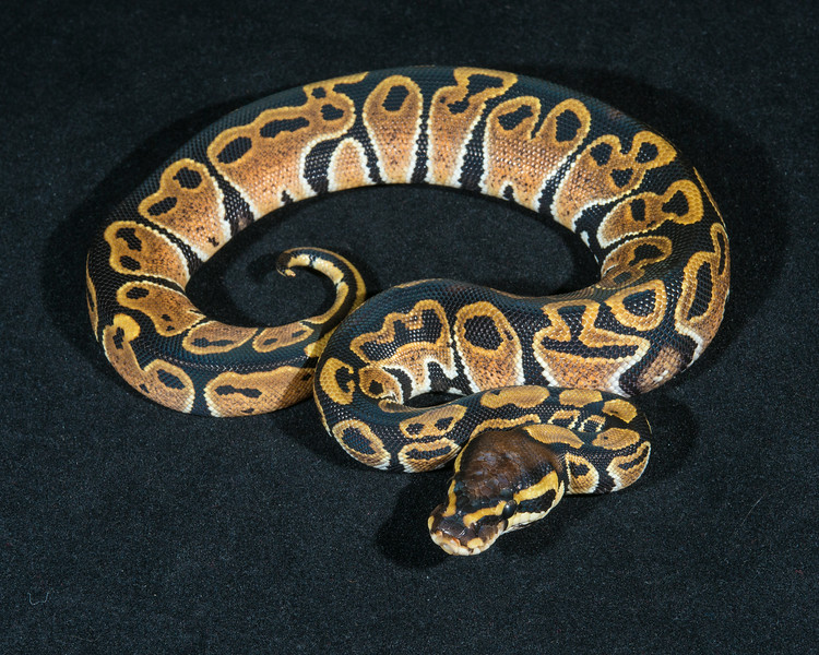 Het Albino F0114, sold, Scott