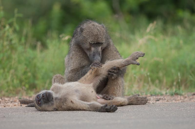 Bavianer i gang med soignering, Kruger National Park