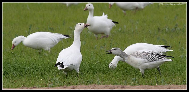 Snow Geese Juvenile calling, near Unit 1, Salton Sea, Imperial County, California, November 2009