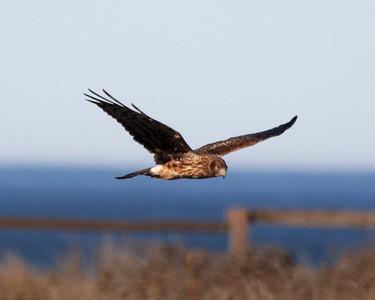 HMBay-Harriers