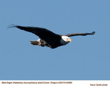 Bald Eagle A64880.jpg