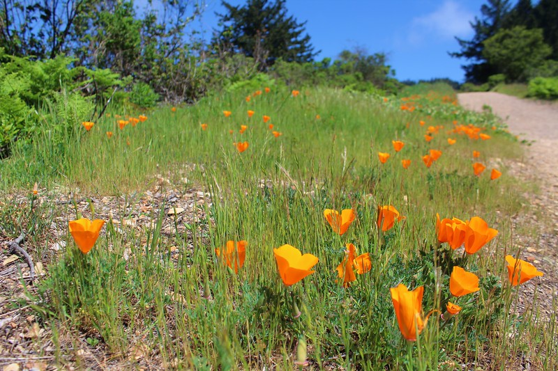 California poppies bloom next to the trail, bringing smiles to any hikers that pass by.