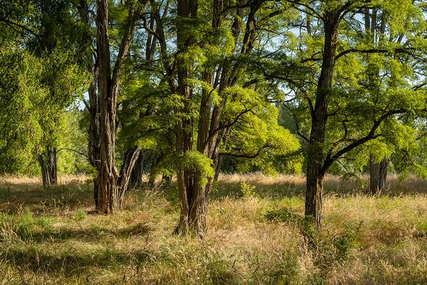 Locust Tree Project