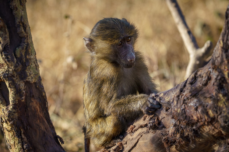 Baboon Infant