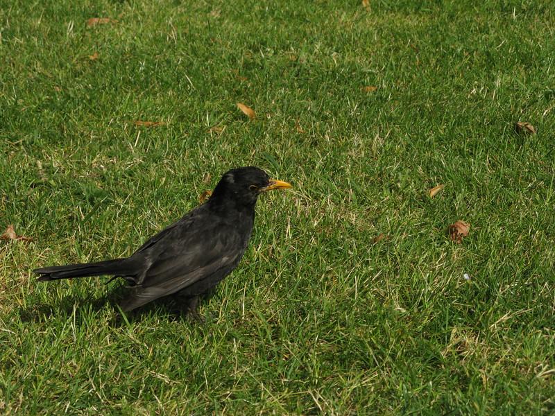 A Westminster birdie