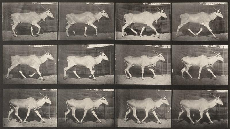 Eland trotting (Animal Locomotion, 1887, plate 696)