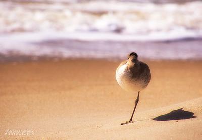 Willett standing his ground - Yaupon Beach, Oak Island, NC
