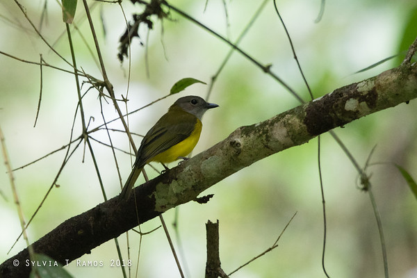 Yellow-bellied Whistler