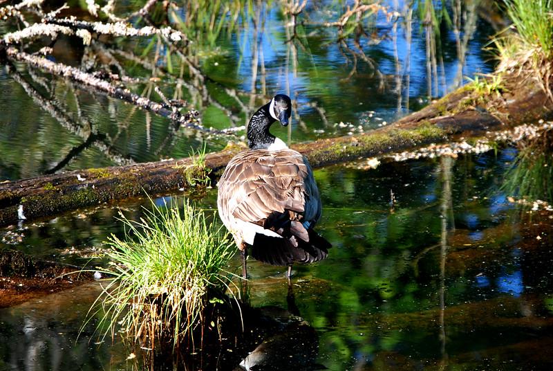 Canada Goose, WA