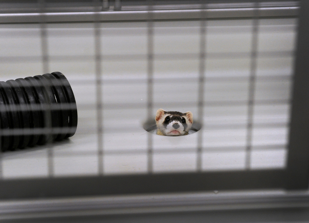 . WELLINGTON, CO - Oct. 29: A ferret pokes his head out of a hole in one of the indoor holding pens inside the breeding building. There are four breeding rooms in the building that have 42 cages in each. The U.S government through the U.S. Fish and Wildlife Service is breeding the black-footed ferret in captivity in northern Colorado. Restoring the ferrets, an endangered species, to the United State prairies is considered a key step in to reviving dying ecosystems. (Photo By Kathryn Scott Osler/The Denver Post)