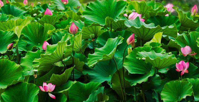 Lotus panorama