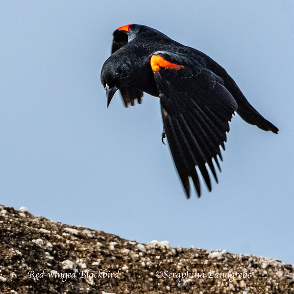 _DSC9878Red-winged Blackbird.jpg