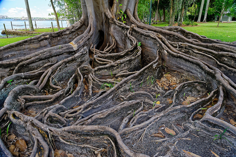 Mysore Fig Tree Root Growth