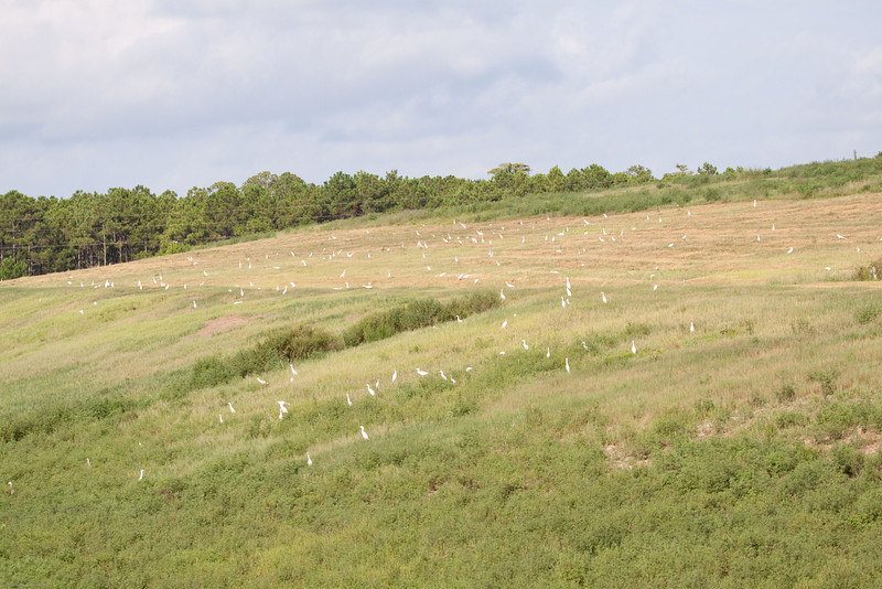 Cattle Egrets on the Hillside