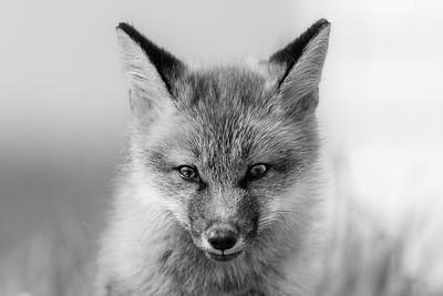 2019-06 Foxes in Elliston