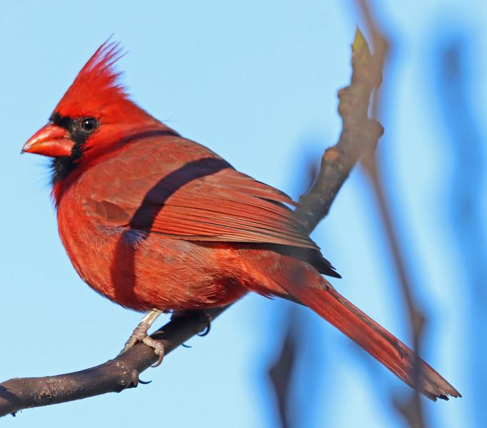 male cardinal (2).jpg
