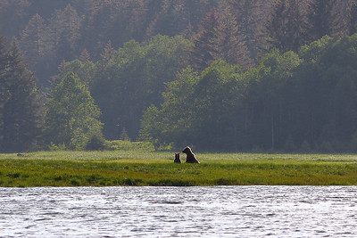 Brown Bear - Cub and Mother June 2014, Cynthia Meyer, Chichagof Island, Alaska