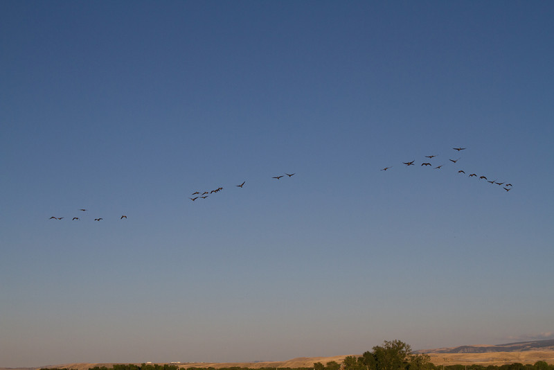 Local geese flew over on their way to an evening meal in a nearby field.