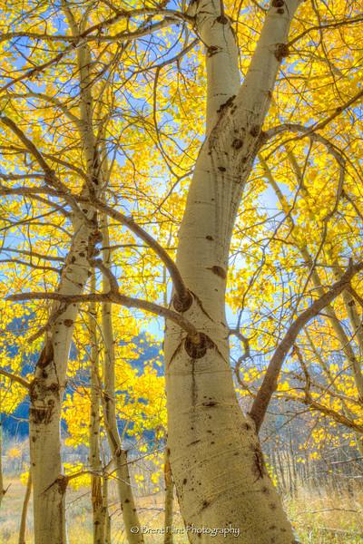 DF.3425 - backlit aspen grove, Sawtooth National Recreation Area, ID.