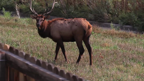 Backyard Bull Elk
