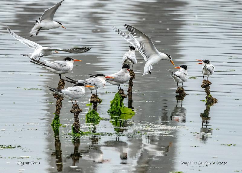 _DSC2452Elegant Terns.jpg