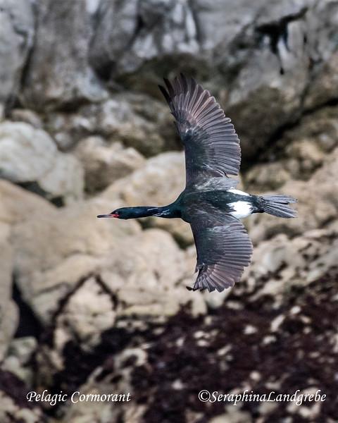 _DSC0185Pelagic Cormorant cormorant b.jpg