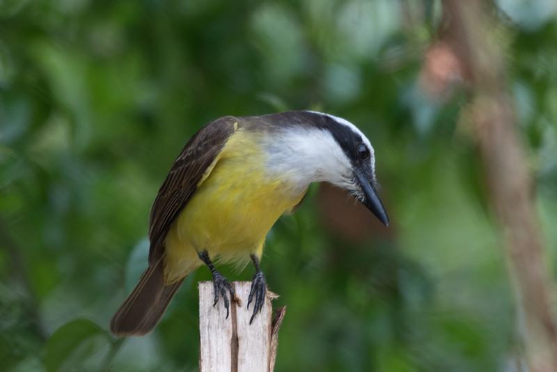 19-Sept Brazil Birds-7733.JPG