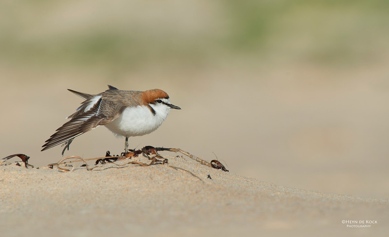 Red-capped Plover, Lake Conjola, NSW, Aus, Sept 2013-5.jpg