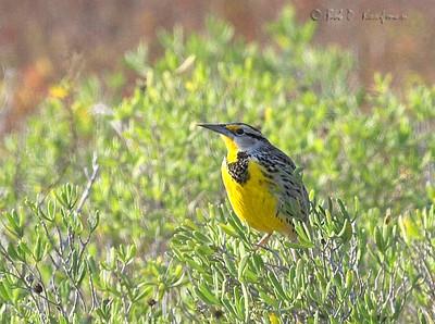 Sturnella magna - Eastern Meadowlark
