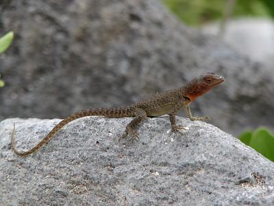 ittle Lava Lizard