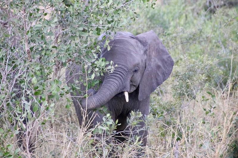 Baby Elephant - Kruger National Park
