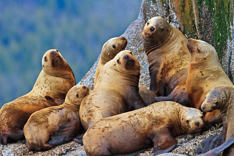 Steller Sea Lions resting on a rock in Fife Sound, British Columbia, Canada.