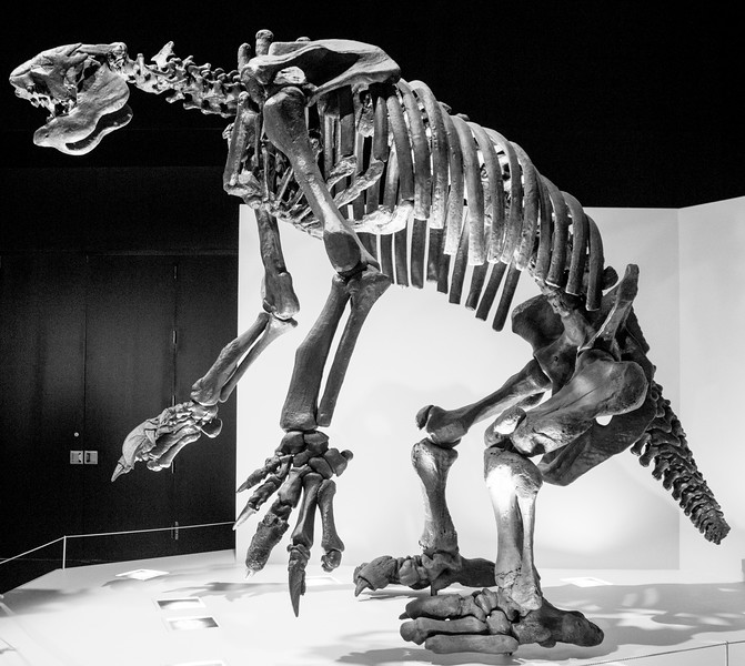 The largest of great Sloths.  These co-existed with modern humans until about 10,000 years ago.