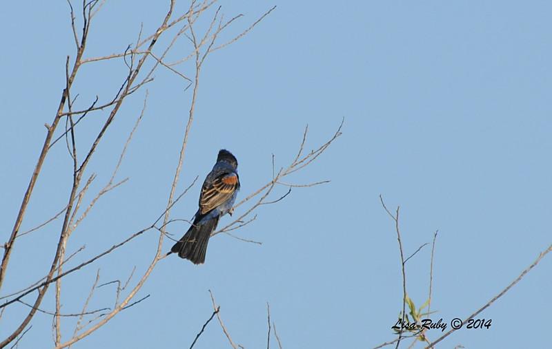 Blue Grosbeak - 5/25/2014 - San Pasqual Agricultural Trail