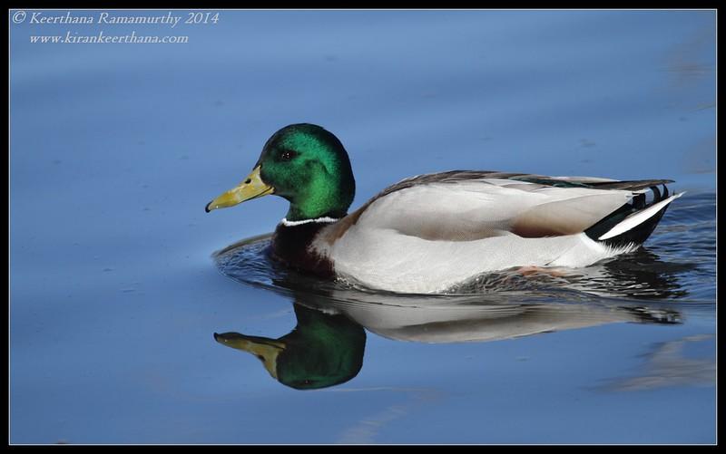 Mallard male, Santee Lakes, San Diego County, California, February 2014