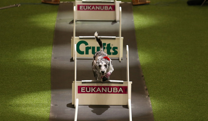 . A dog jumps over a fence in the flyball quarter finals in the main arena on the first day of Crufts dog show at the NEC on March 6, 2014 in Birmingham, England. Said to be the largest show of its kind in the world, the annual four-day event, features thousands of dogs, with competitors traveling from countries across the globe to take part. Crufts, which was first held in 1891 and sees thousands of dogs vie for the coveted title of \'Best in Show\'.  (Photo by Matt Cardy/Getty Images)