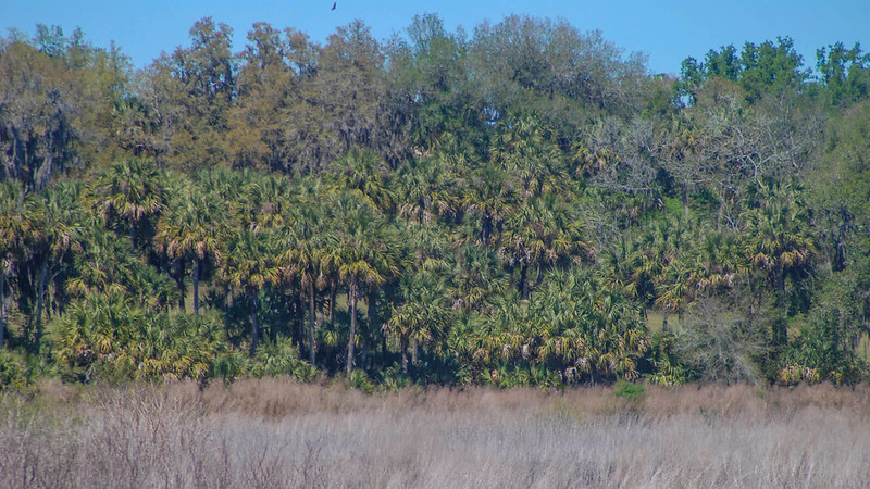 Palms and oaks behind prairie grasses