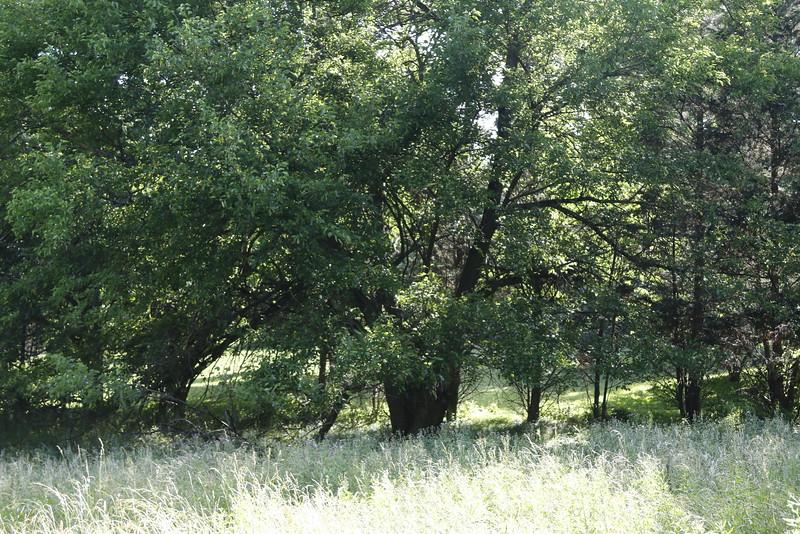 _I0A2962 mulberry tree.JPG