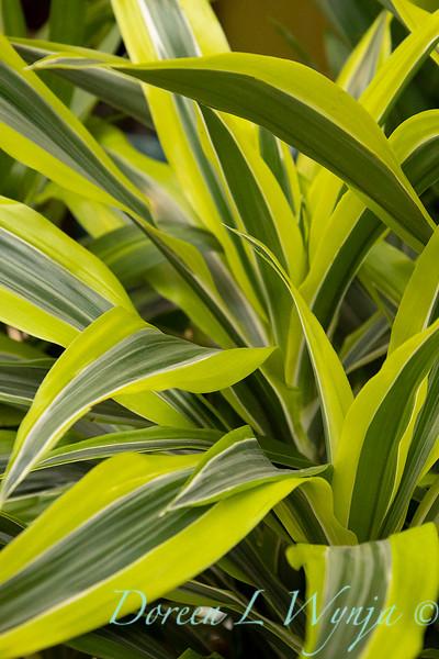 Dracaena deremensis Lemon Lime_5986.jpg