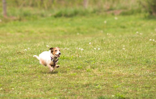 Kizzie lure coursing