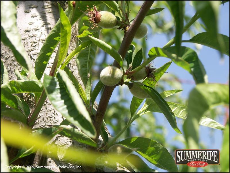 Spring Snow White Peach