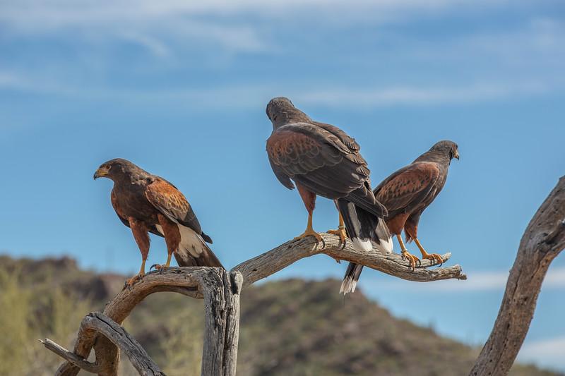 Harris Hawk Family.jpg