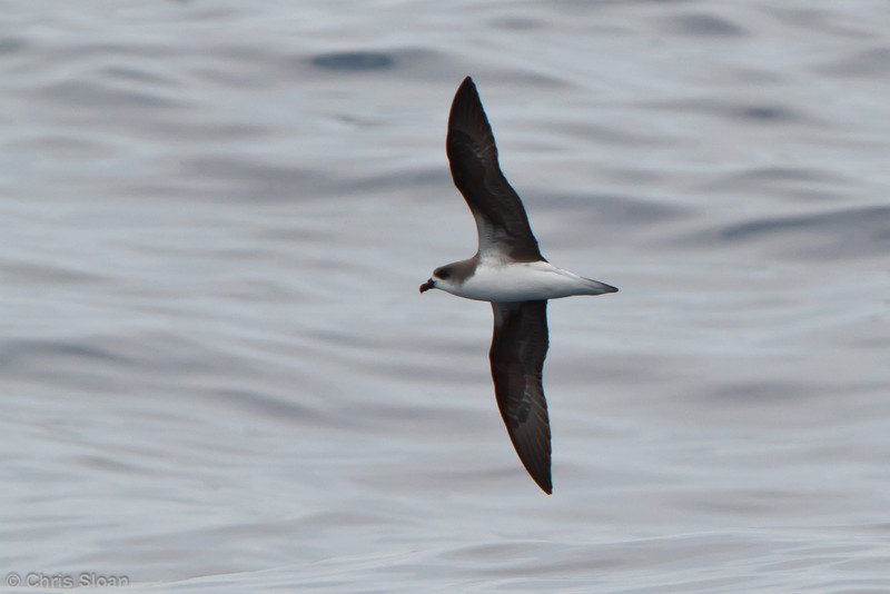 Fea's Petrel at pelagic trip off Hatteras, NC (06-05-2011) - 399.jpg