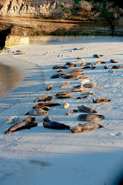 La Jolla California sea lions 265 copy.jpg